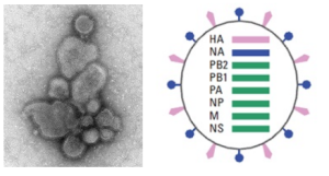 H7N9 virus comb