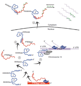 PTENpg1 asRNA model
