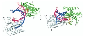 RNase H structure