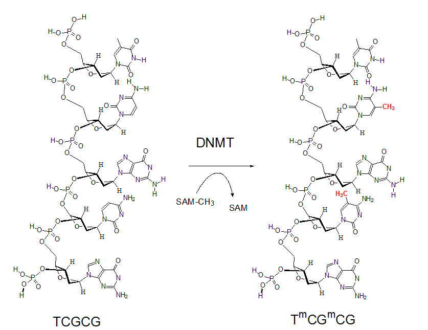 Amino acids degradation and synthesis  School of Medicine
