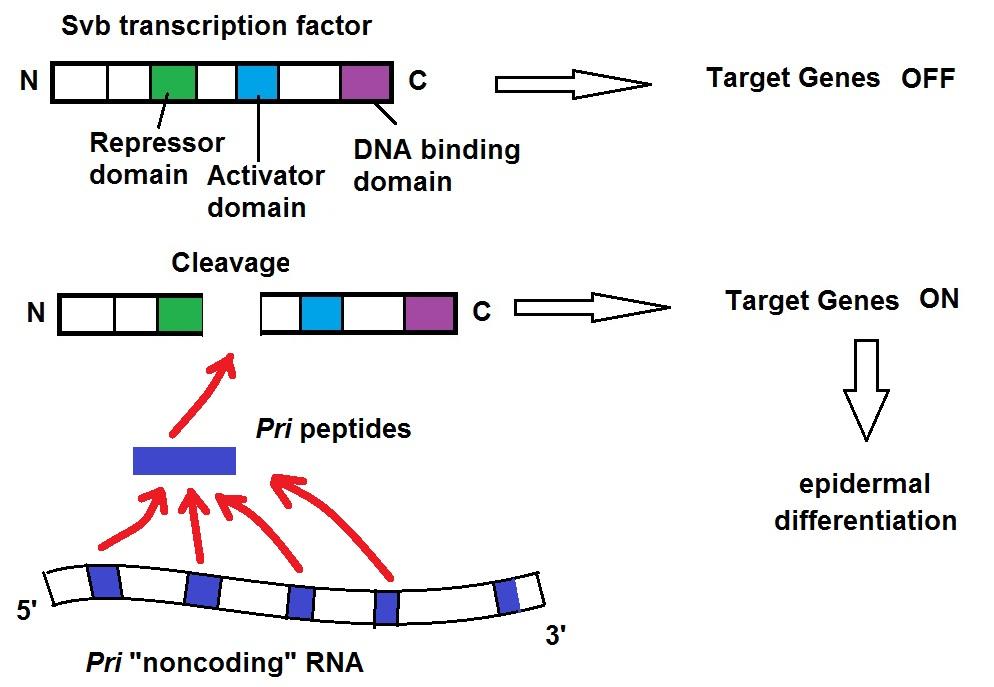 Eukaryotic Transcription Factors Transcription Factor Svb
