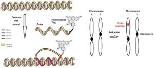 DNA FISH KDL