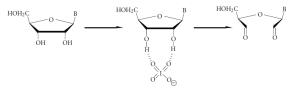 Periodate oxydation 3' ribose