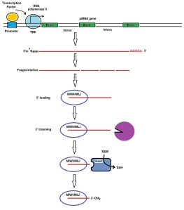piRNA pathway