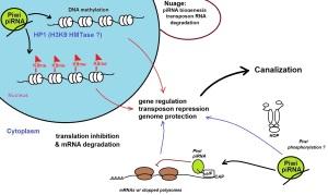 Piwi piRNA pathway