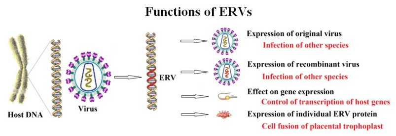 Functions of ERVs