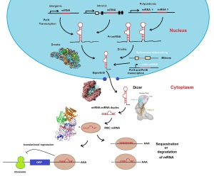 miRNA biogenesis pathway kdl