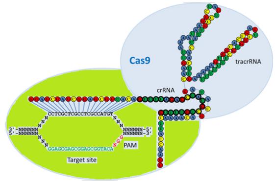 3 CRISPR Cas Model 1